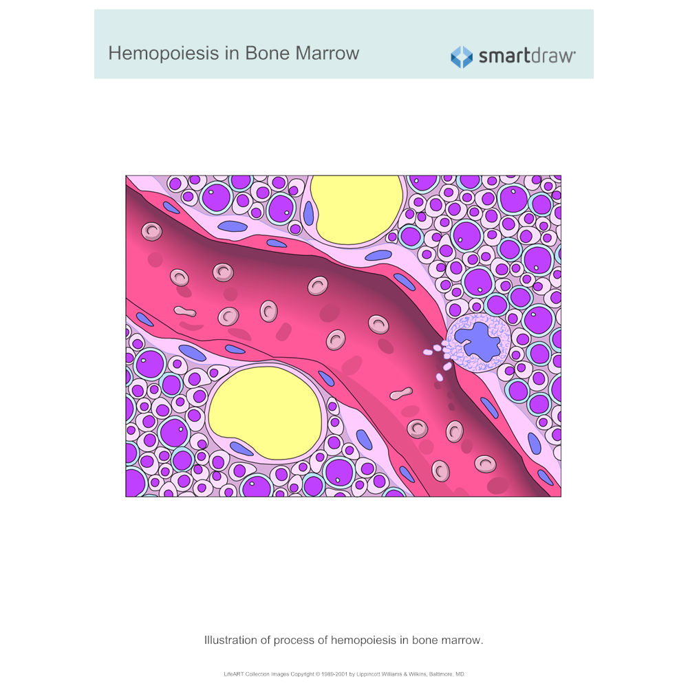 Example Image: Hemopoiesis in Bone Marrow