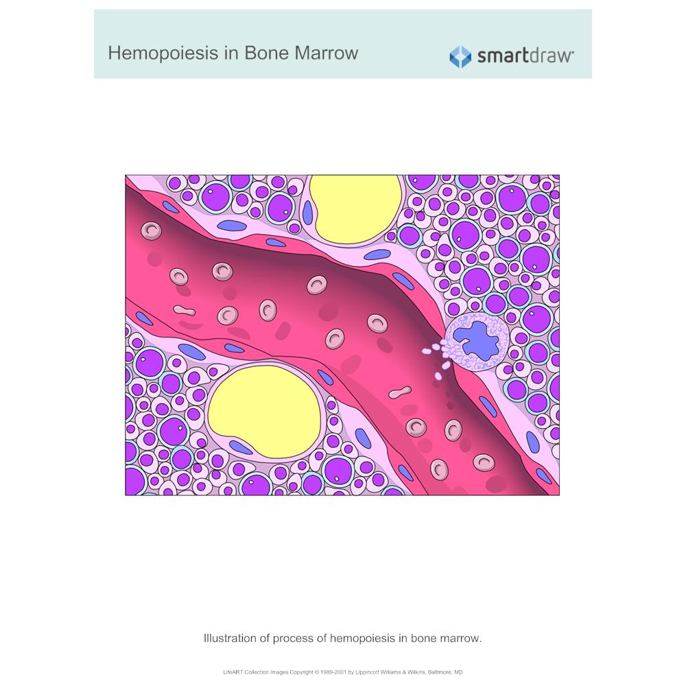 Example Image: Hemopoiesis in Bone Marrow