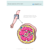 Cross-section of the Arm