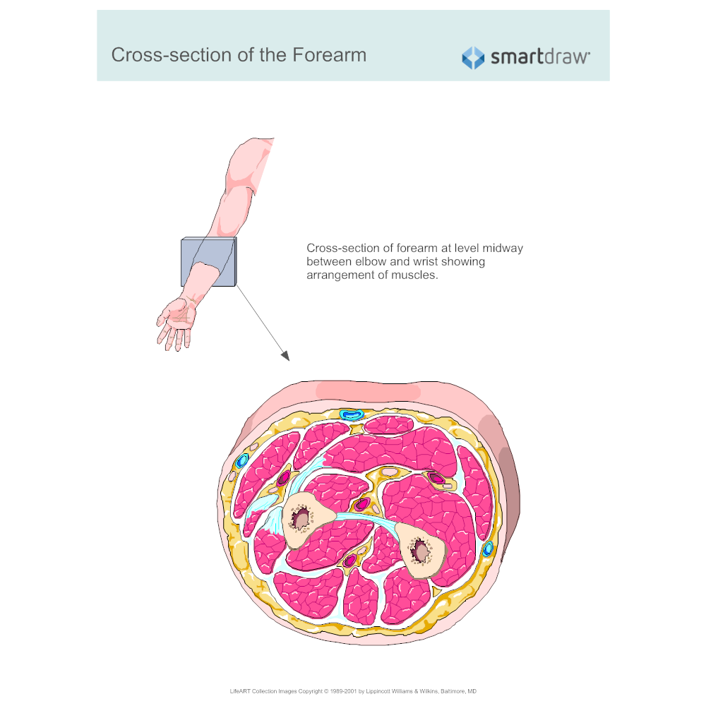Cross-section of the Forearm