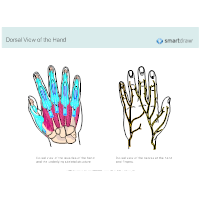 Dorsal View of the Hand