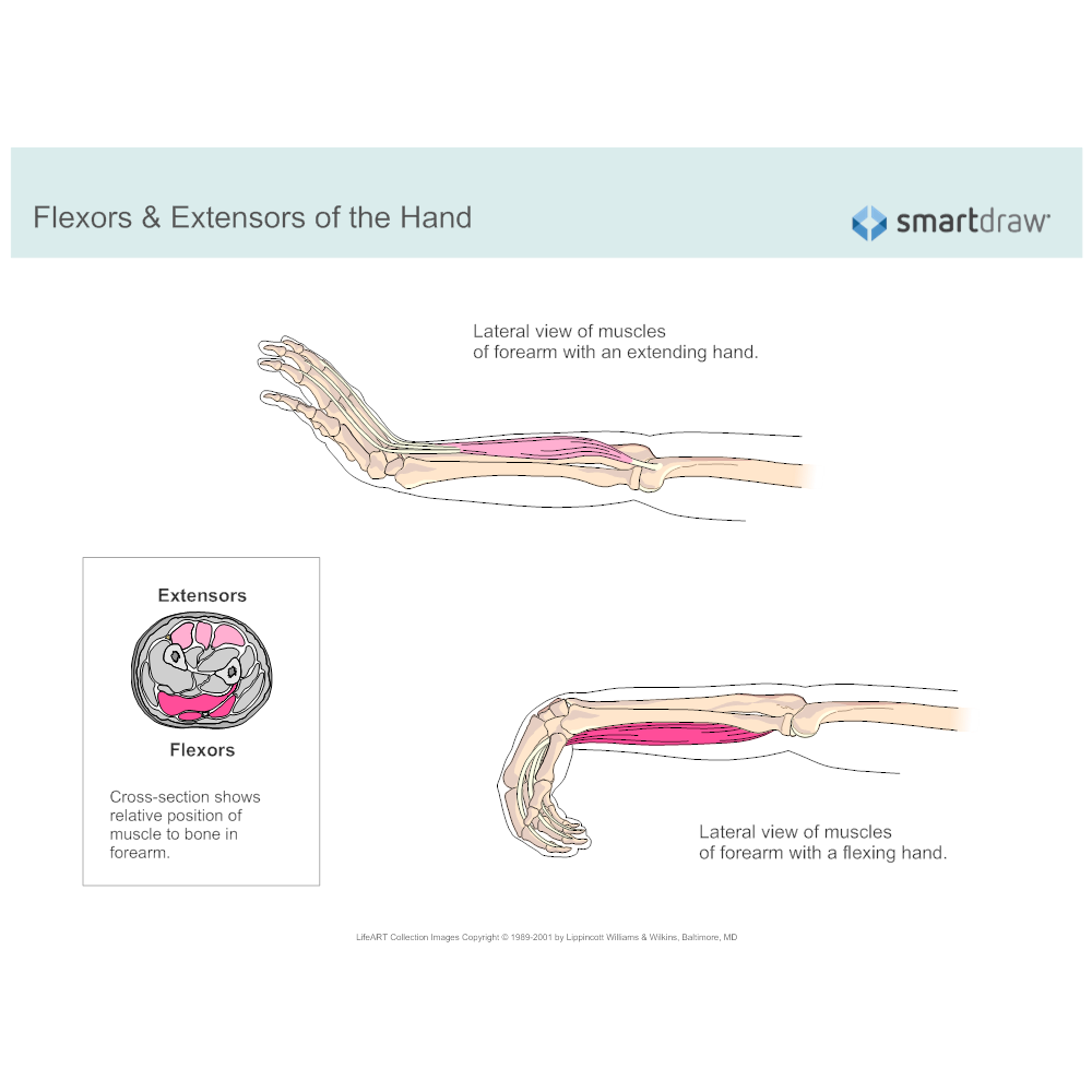 Example Image: Flexors & Extensors of the Hand