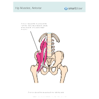 Hip Muscles - Anterior