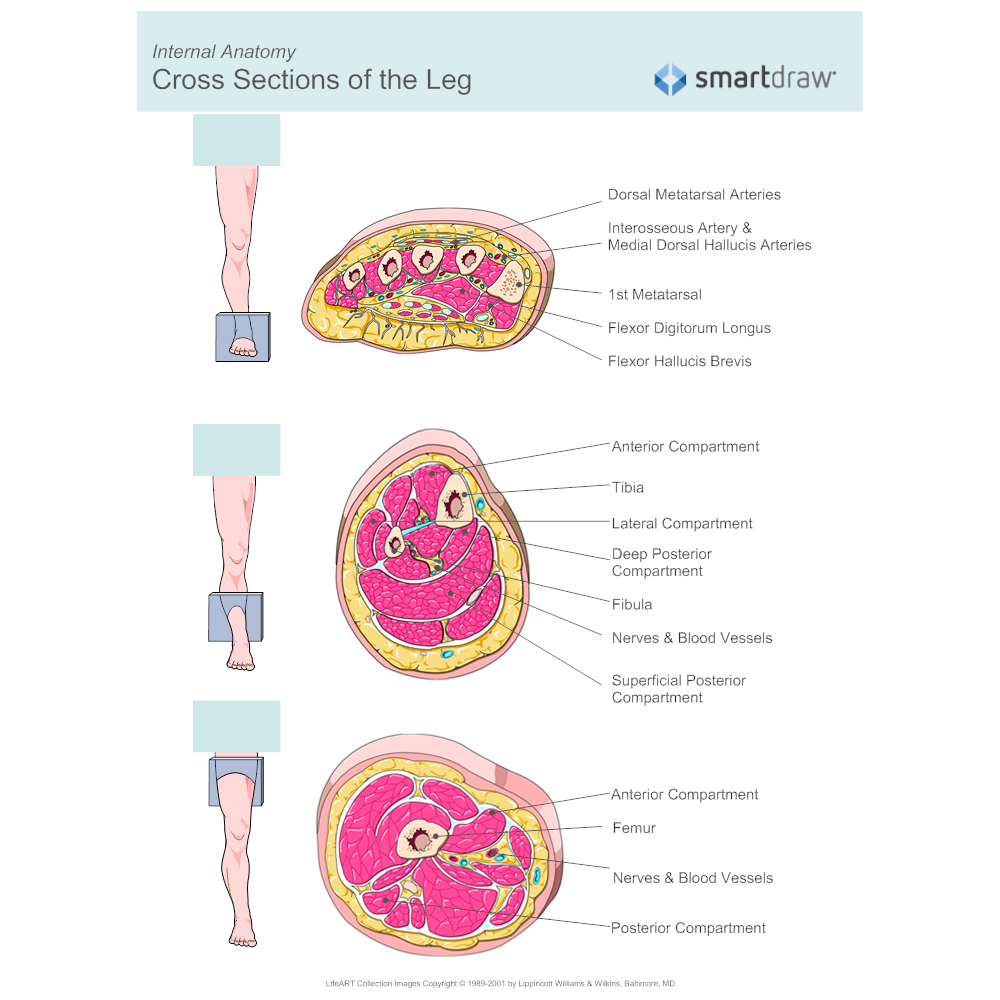 Example Image: Leg Muscles