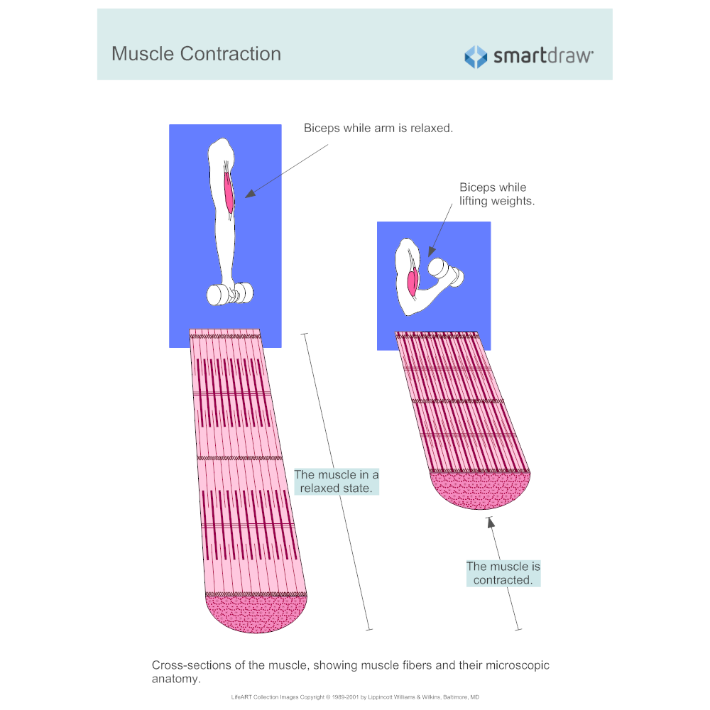 Example Image: Muscle Contraction