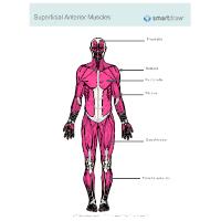 Muscular System Diagram