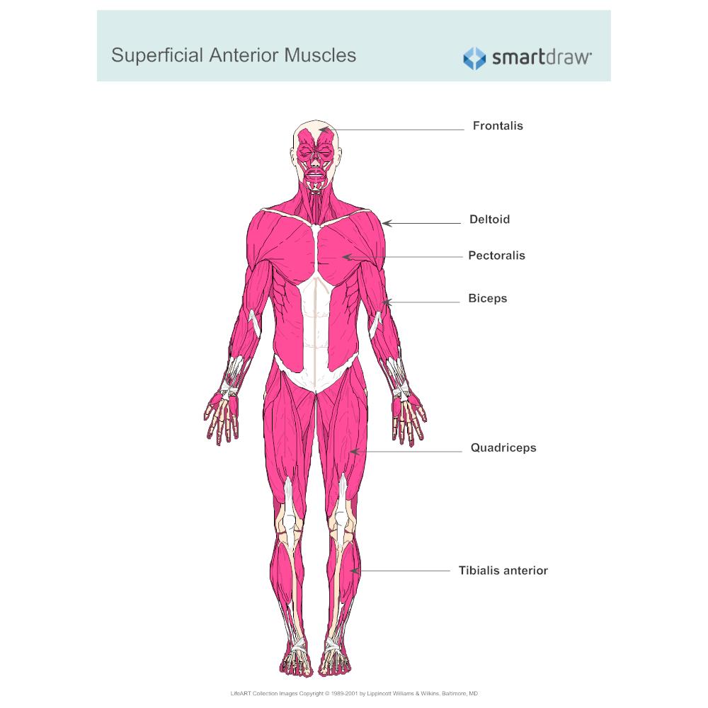 worksheet. Muscular System Worksheet. Grass Fedjp Worksheet Study Site