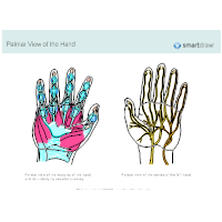 Palmar View of the Hand
