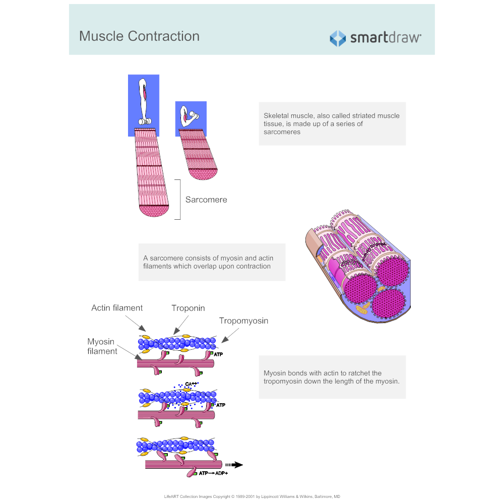 Example Image: Sarcomere - Muscle Contraction
