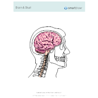 Brain & Skull - Lateral View