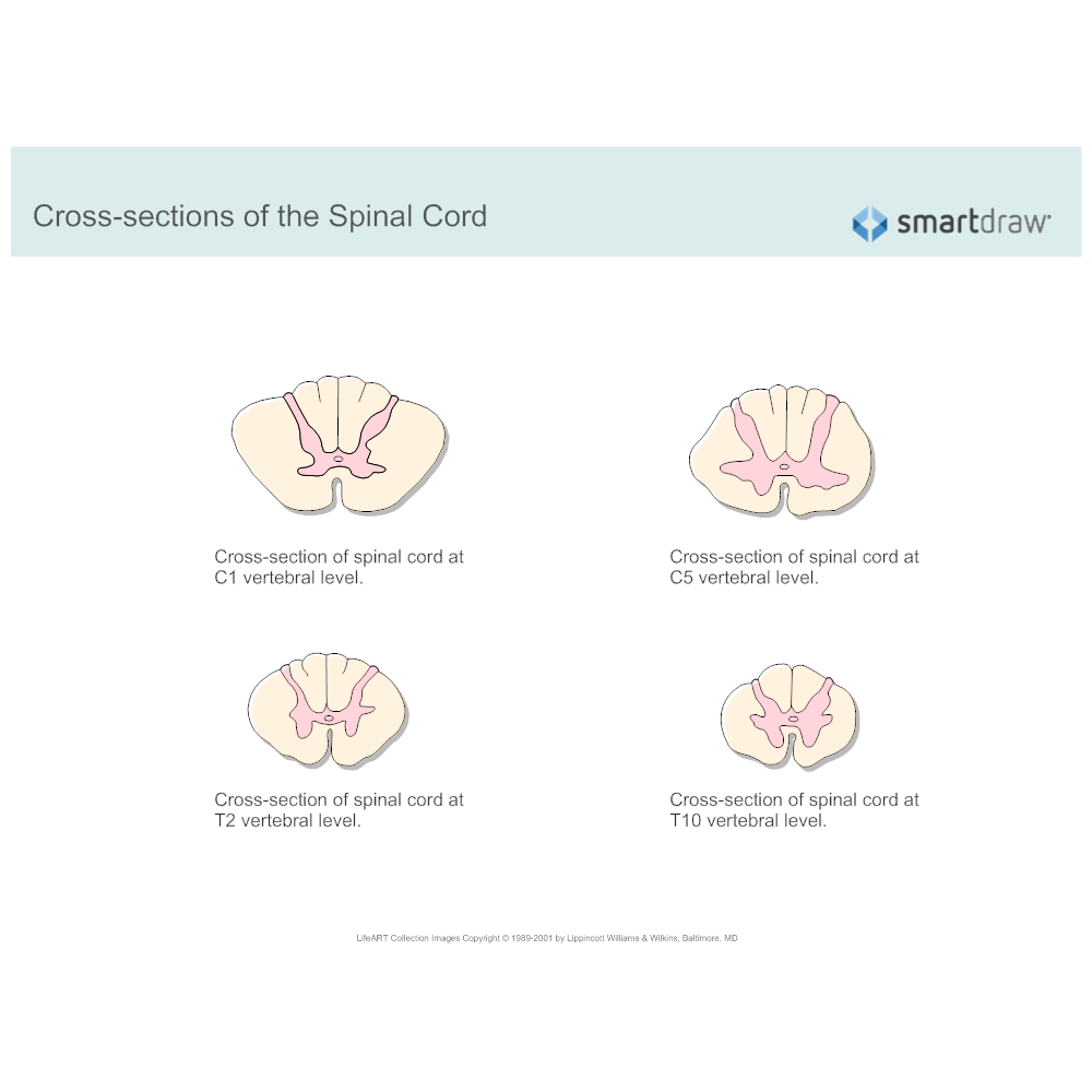 Cross Sections Of The Spinal Cord