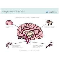 Midsagittal Arteries of the Brain