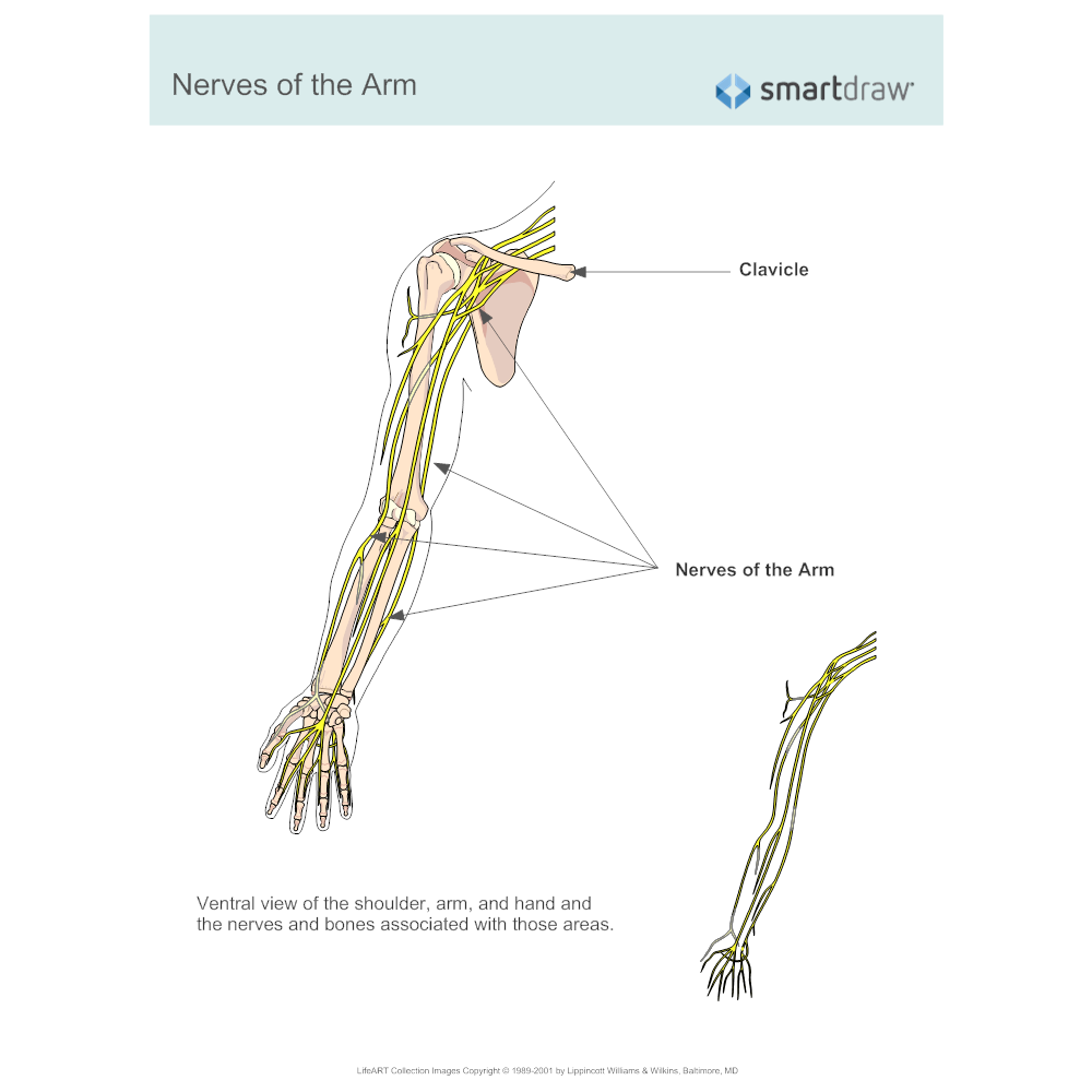 Example Image: Nerves of the Arm