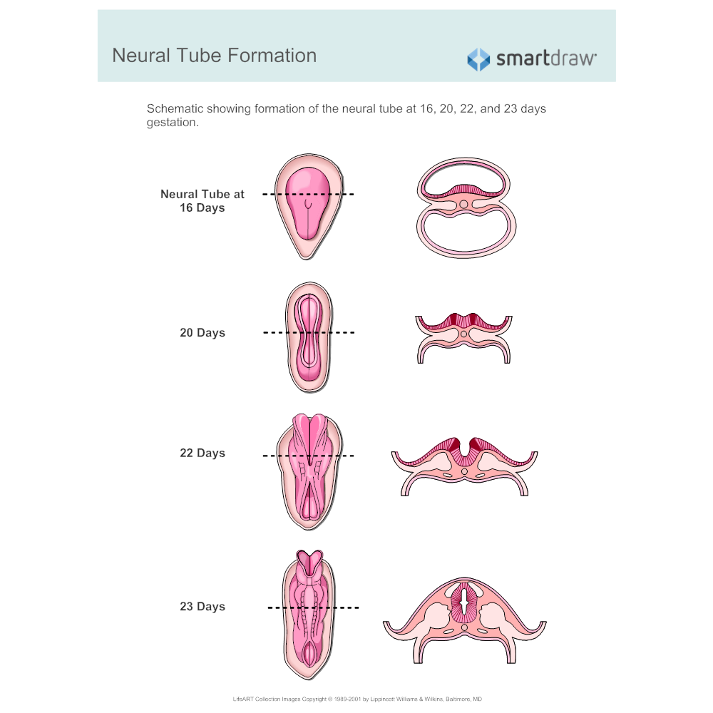 Neural Tube Formation on anatomy endocrine system diagrams