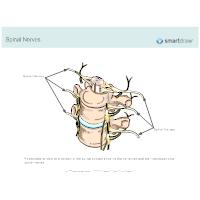 Spinal Nerves