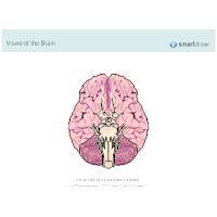 The Brain - Inferior View