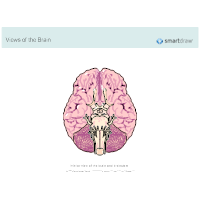 The Brain - Inferior View