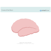 The Brain - Lateral Outline