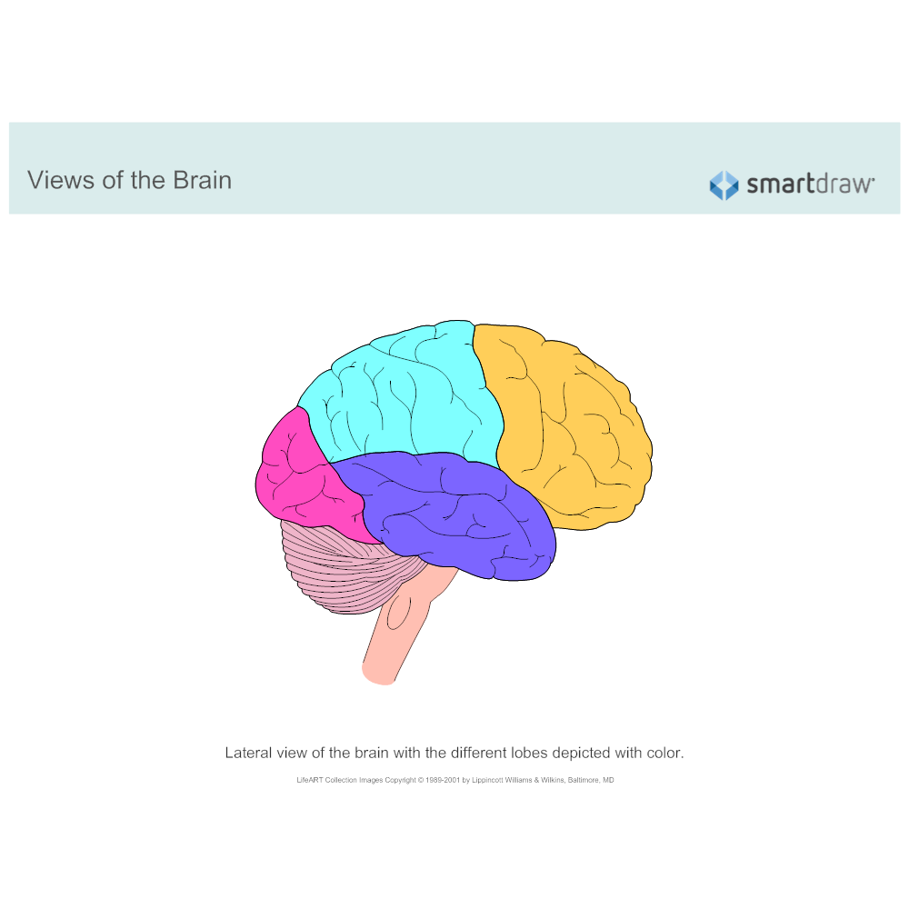Example Image: The Brain - Lobes