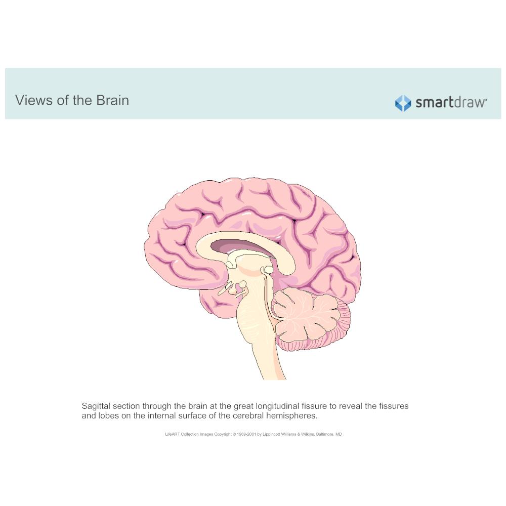 The Brain Sagittal Section