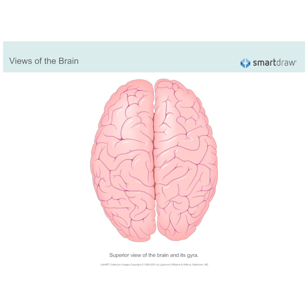 Example Image: The Brain - Superior View