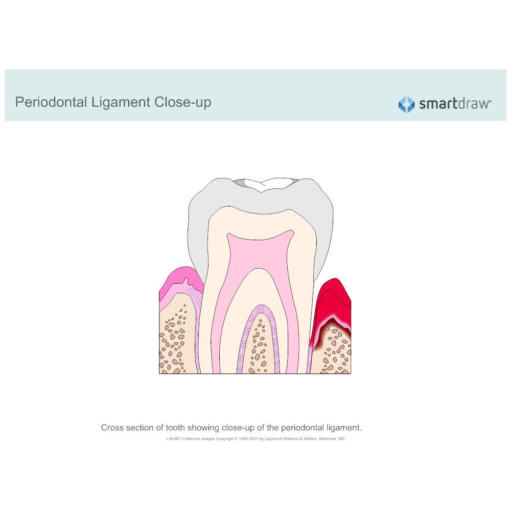 Example Image: Periodontal Ligament Closeup