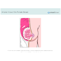 Anterior View of the Female Breast