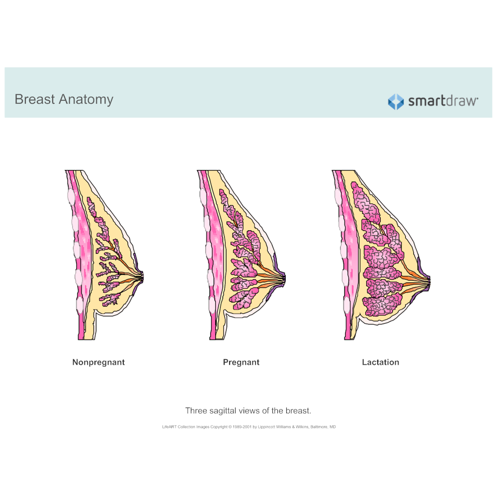 Example Image: Breast Anatomy