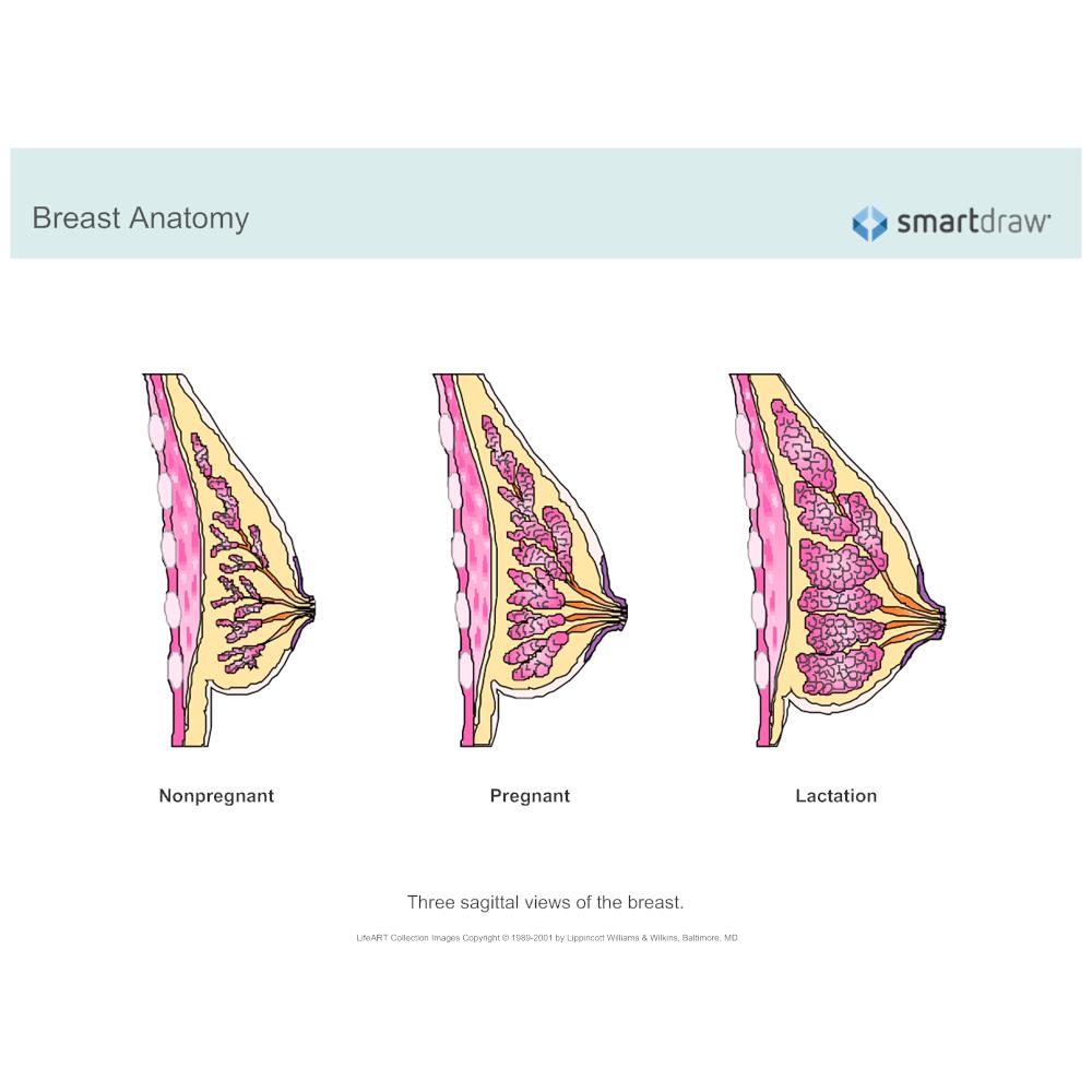 Example Image: Breast Anatomy