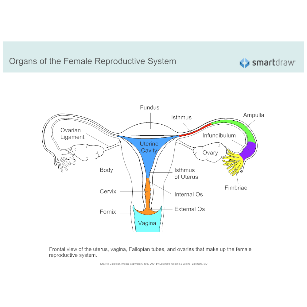 Female reproductive system diagram ccuart Image collections