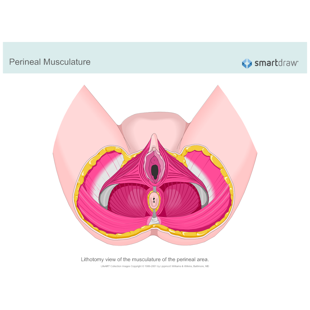 Example Image: Perineal Musculature