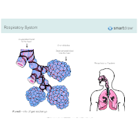 Alveoli & Bronchioles - Respiratory System Diagram