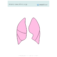 Anterior View of the Lungs