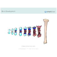 Bone Development