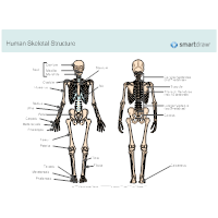 Human Skeletal System Diagram
