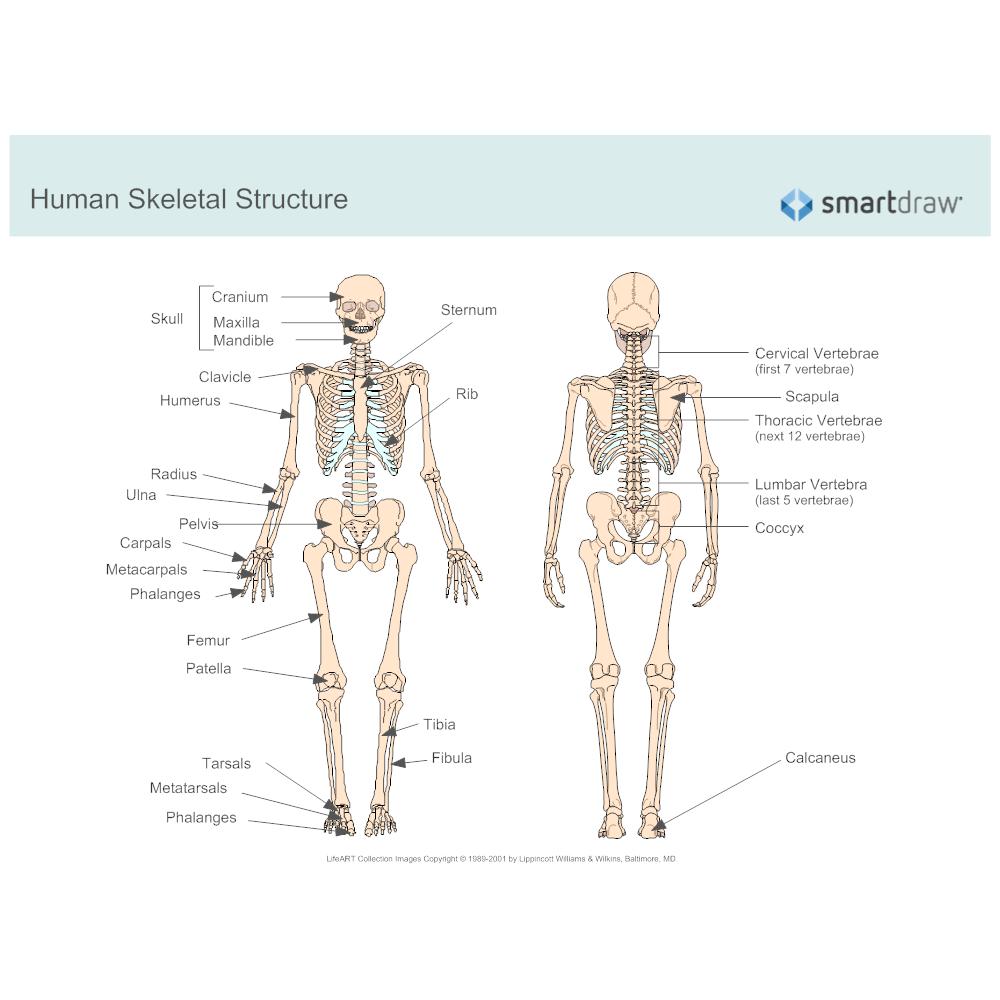 Example Image: Human Skeletal System Diagram