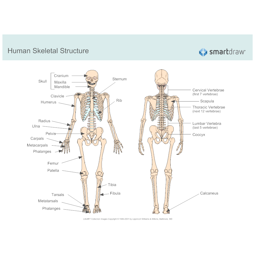Example Image: Human Skeletal System Diagram