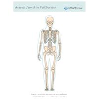 View of the Full Skeleton - Anterior
