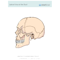 View of the Skull - Lateral