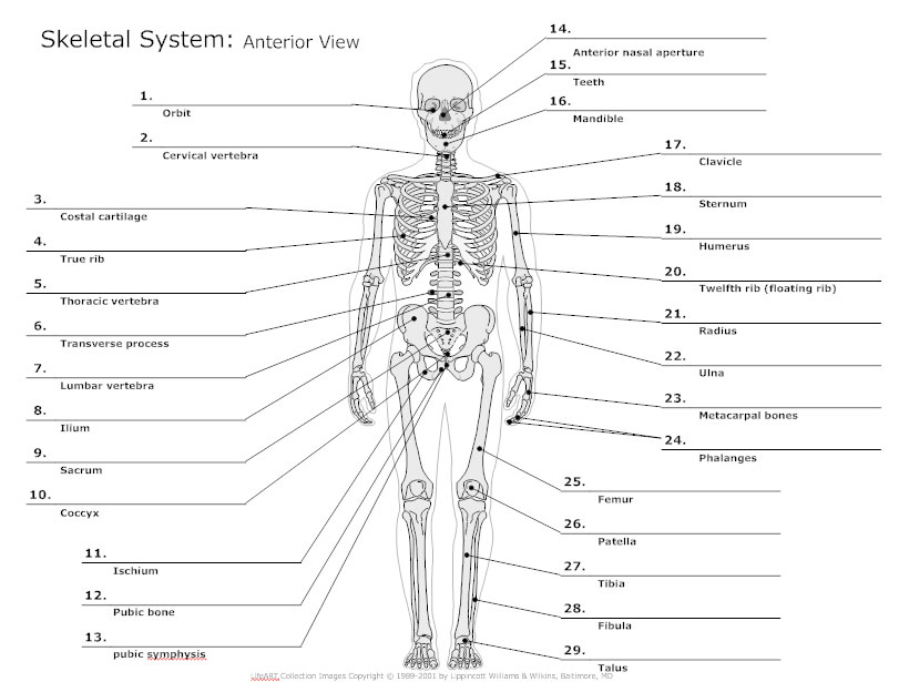Printables Skeletal System Worksheet skeletal system diagram types of diagrams anterior view diagram