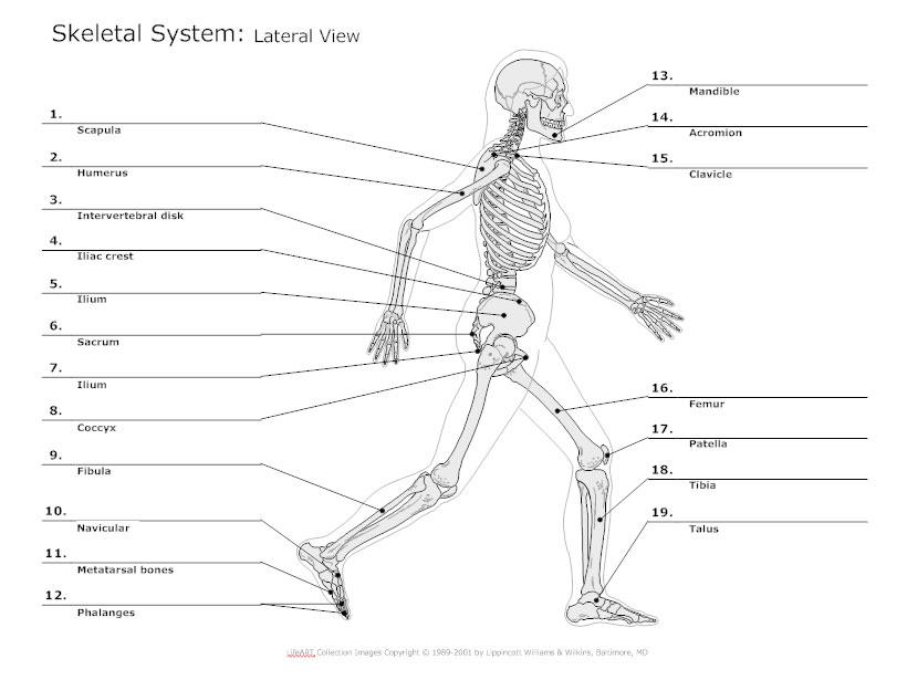 skeletal system diagram types of skeletal system diagrams Skeletal Muscle Diagram Labeled lateral view skeletal diagram