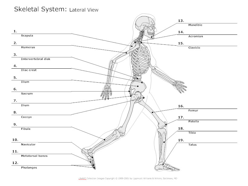 Lateral View Skeletal Diagram