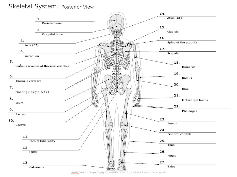 skeletal system diagram