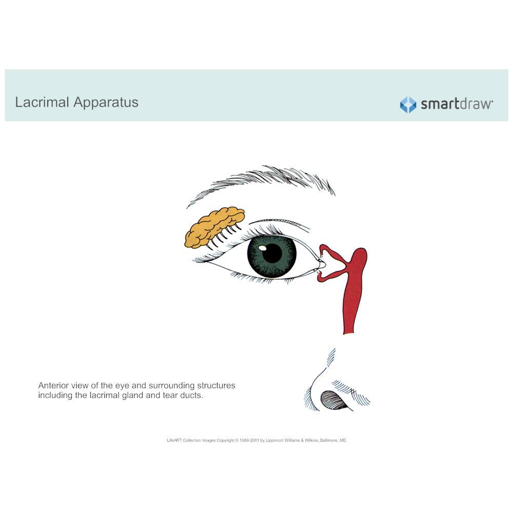 Example Image: Lacrimal Apparatus - 2